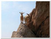 Балаклавские козы