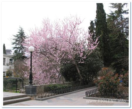 Миндаль цветет на улицах Ялты