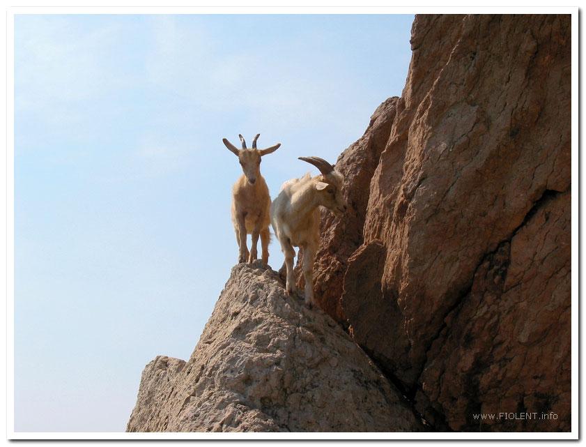 http://fiolent.biz/images/balaklava_goats.jpg